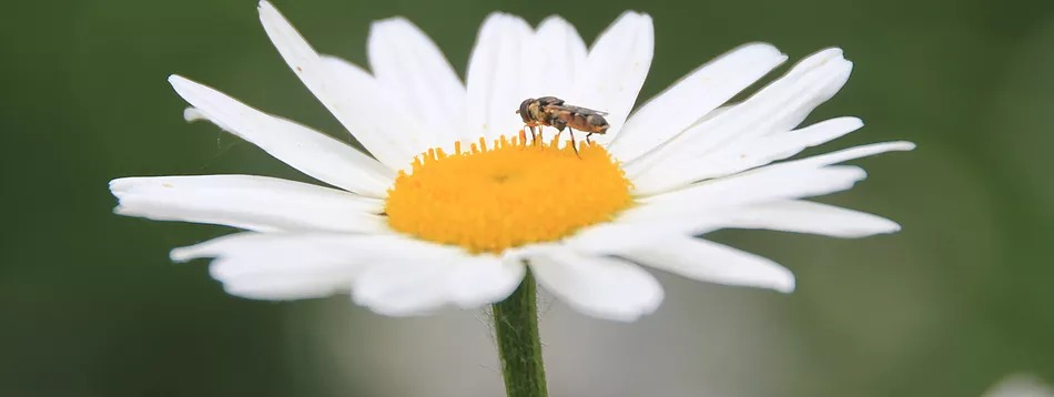 white petaled flower with yellow center that a bee is on