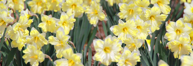 McCrory Gardens narcissus flowers