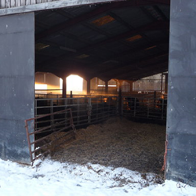 Barn with Heifers