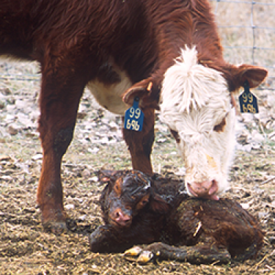 Newborn Calf and Mother