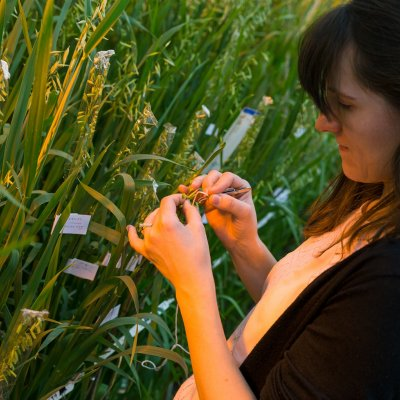 Biological Sciences (Ph.D.) - Plant Science Specialization - crossing oats in a lab.