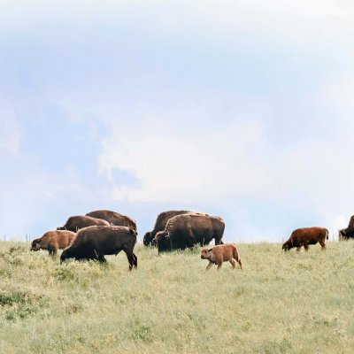 bisons on the prairie