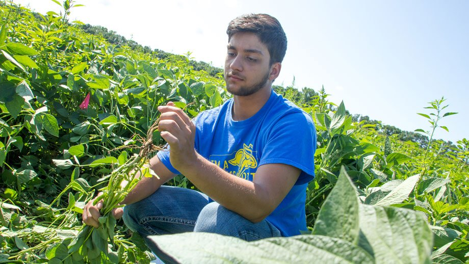 Kaleb Parajuli counts soybean nodules as part his summer research project.