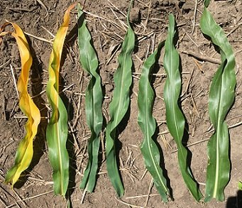 Nitrogen deficiency symptoms in corn