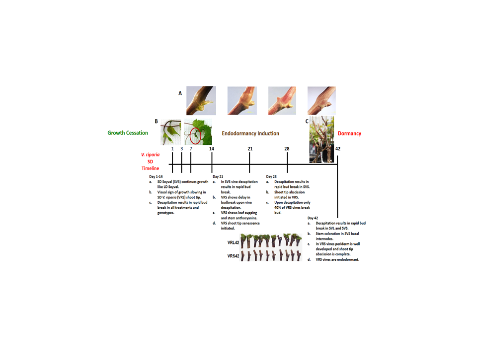 Short day transcriptomic programming during induction of dormancy in grapevine