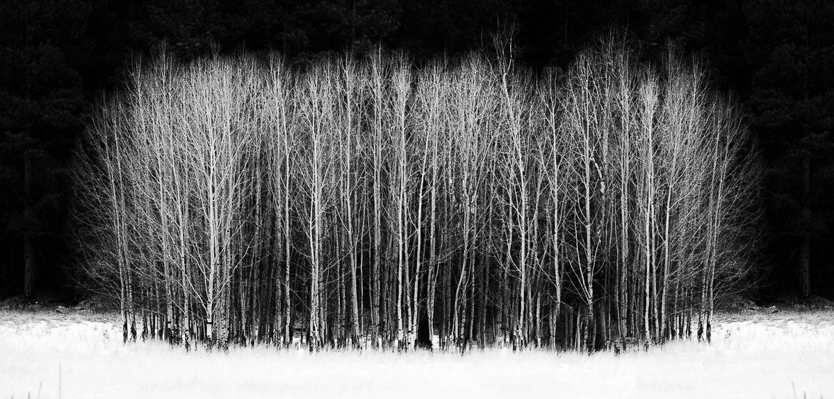 Don Kates, Stand of Aspens, 2016, photography