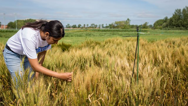 woman examing wheat in disease plots
