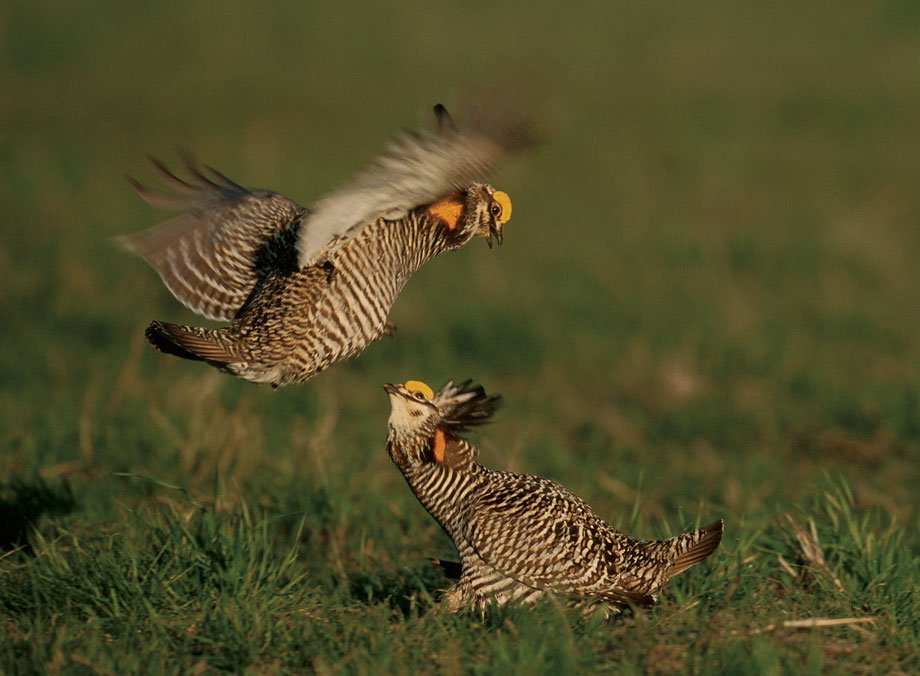 Greater Prairie chicken males sparring for females' attention