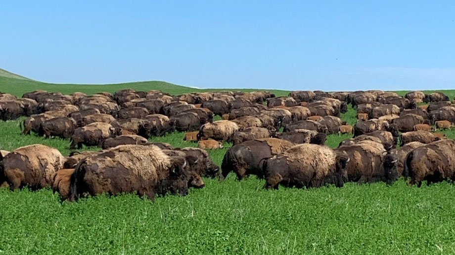 buffalo on prairie grass