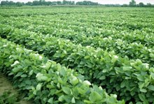 soybeans2