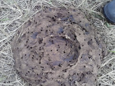 dung beetles in a dug pat