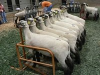 Multiple sheep lined up