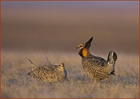 Sharptail_PC_grouse