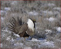 sage_grouse10