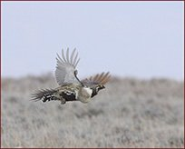 sage_grouse8