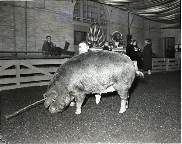 1939 Little International pig
