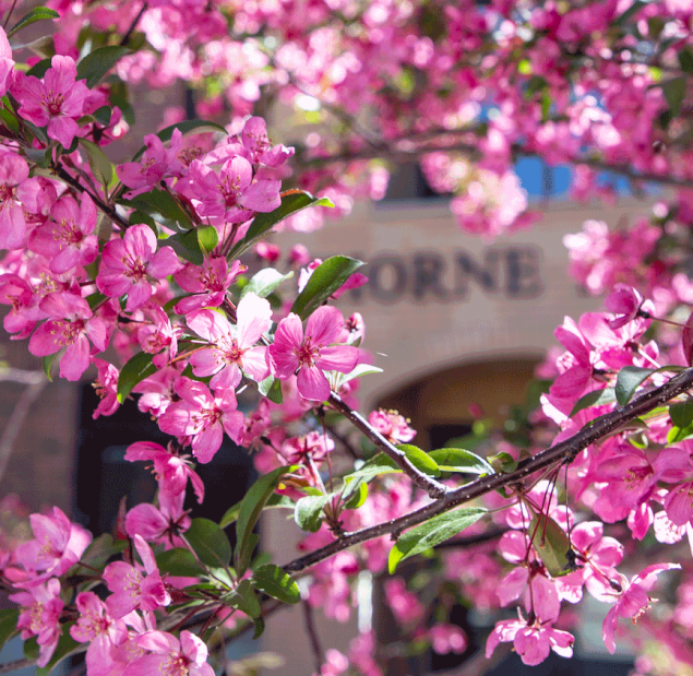 Pink blossoms on a tree in front of a campus building.
