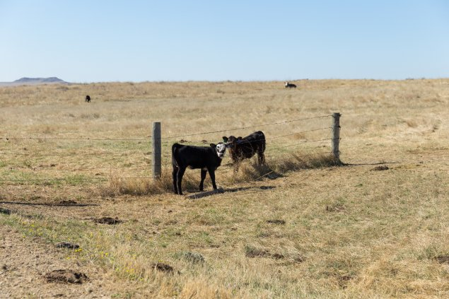 calves at Antelope Range and Livestock Research Station