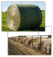 """image of hay bale and cows feeding"""