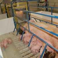 First litter at new swine facility
